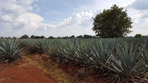 Agave field in Arandas! Tequila!